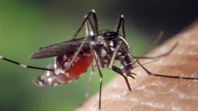 moustique-dengue-chycungunya-adedes_572342